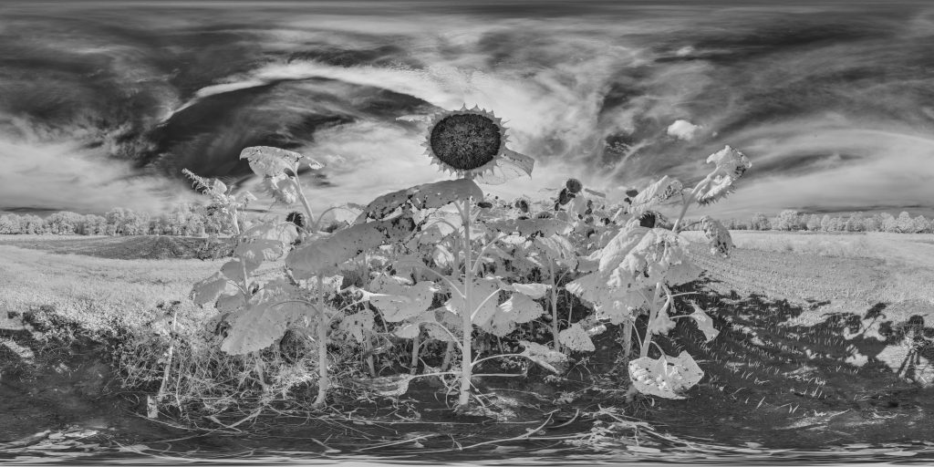 infrared conversion photo by Sunflowers Panorama