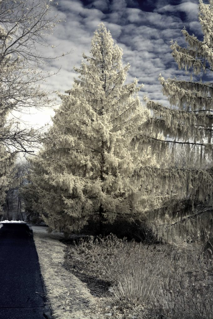 infrared conversion photo by Bayard Cutting Arboretum