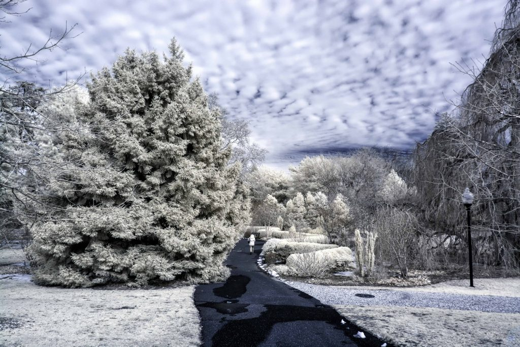 infrared conversion photo by Bayard Cutting Arboretum Pathway